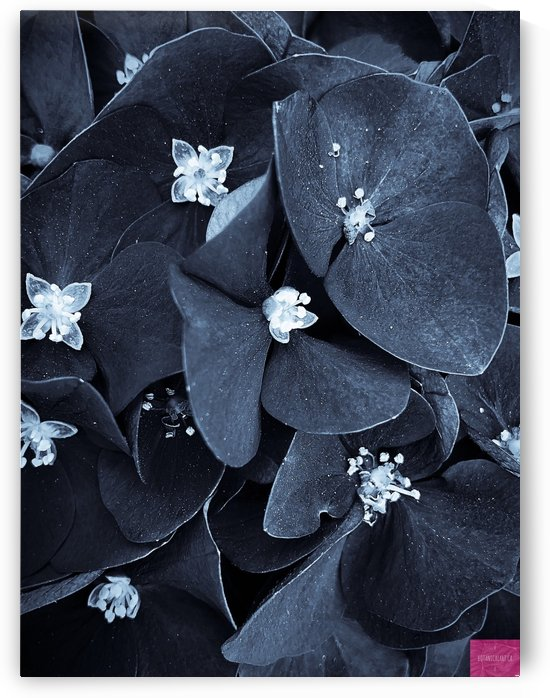 Dark Hydrangea 1 by BotanicalArt ca