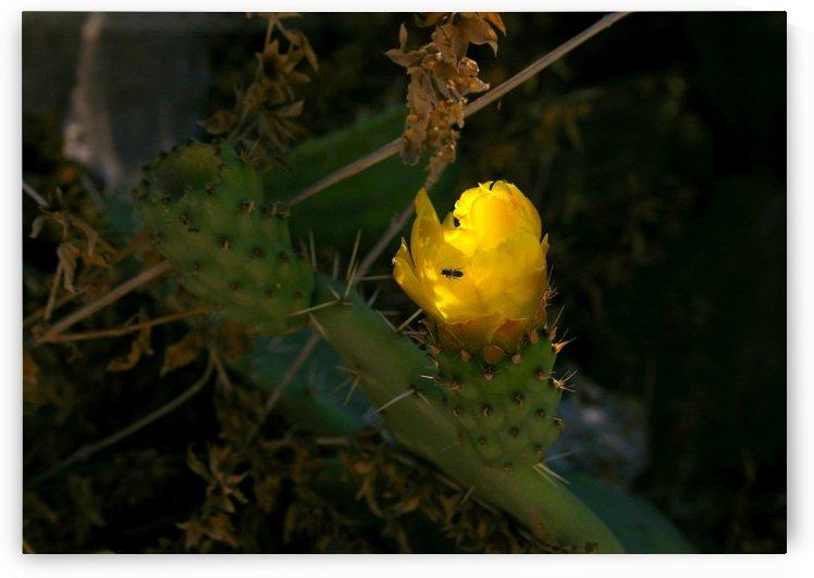 Cactus flower by AndreiPodelko