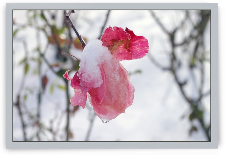 Roses in the snow by AndreiPodelko