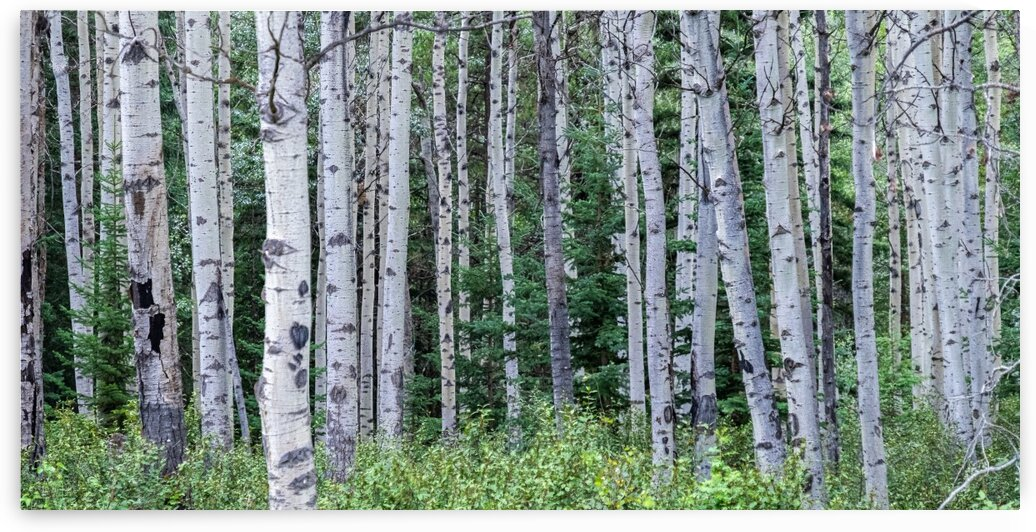 Birch Tree Forest by Dave Therrien