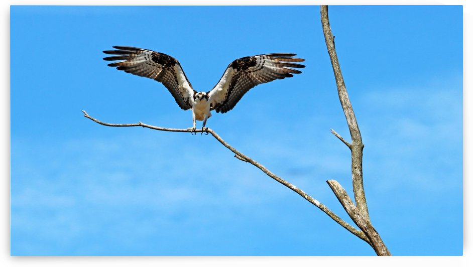 Osprey Landing On Dead Tree by Deb Oppermann