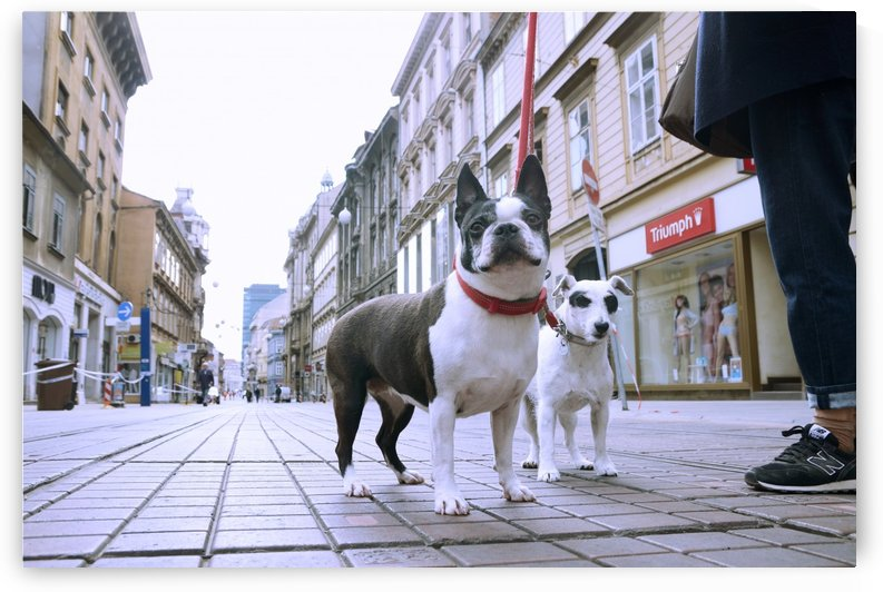Two Dogs in Ilica street in Zagreb by Alen Gurovic