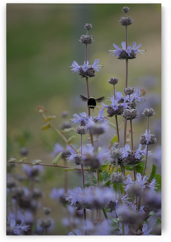Bumble Bee - Buzz Buzz by Konstantin