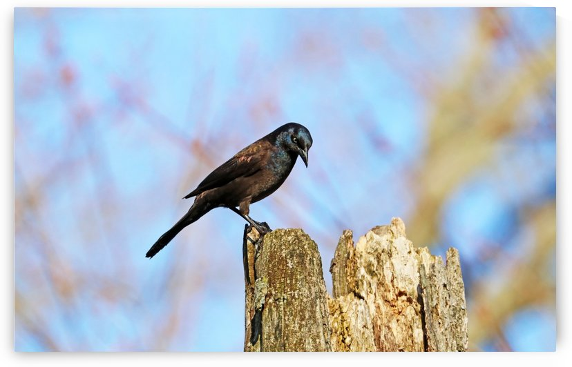 Grackle Contemplation by Deb Oppermann