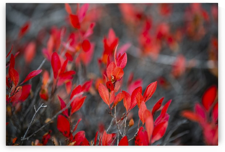 Red leaves by Marie-Andree Blais