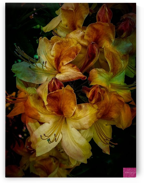 Peachy Rhododendron by BotanicalArt ca