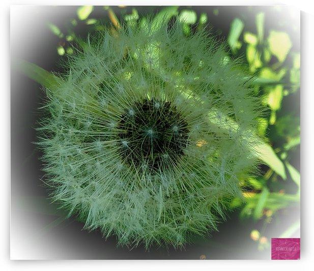 Dandelion Seed Head by BotanicalArt ca