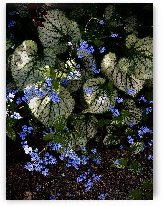 Blue-eyed Mary  by BotanicalArt ca