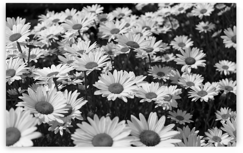 Bed of white flowers B&W by Gods Eye Candy