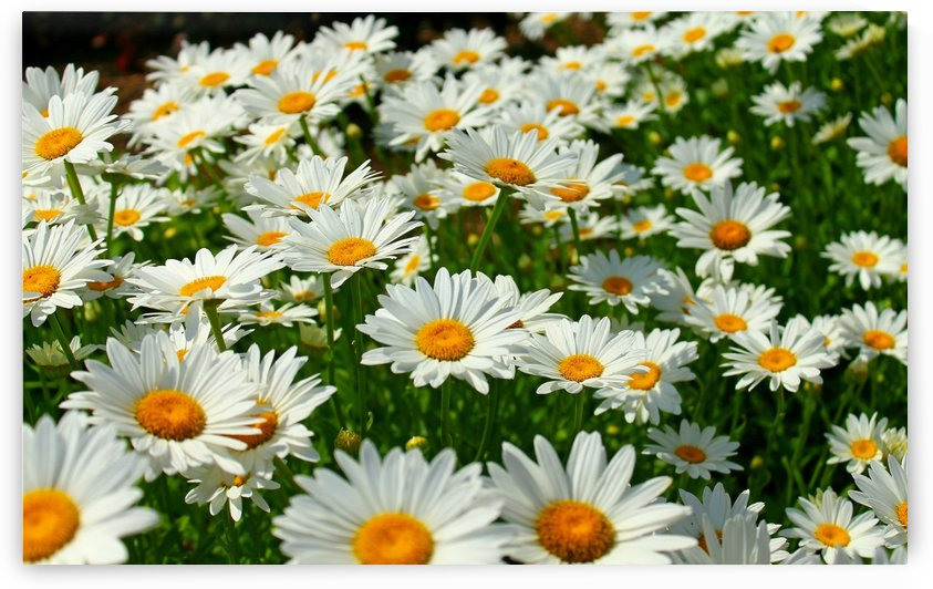 Bed of white flowers by Gods Eye Candy