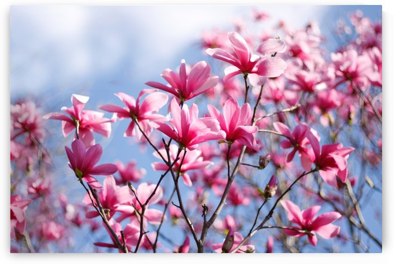 Magnolia Blossoms by Tammy Bicknell