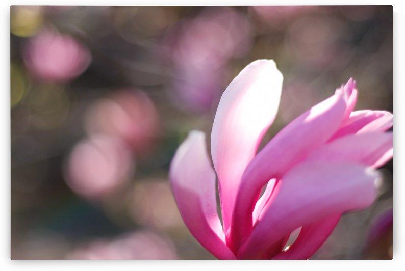 Magnolia Waving by Tammy Bicknell