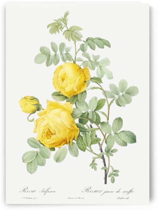 Yellow Rose of Sulfur by Four Beautiful Sunsets