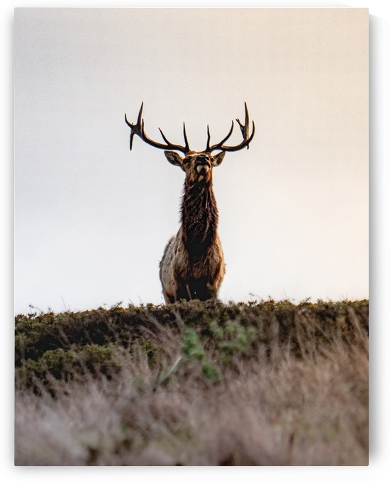 Tule Elk On Top Of A Hill by David Yoon
