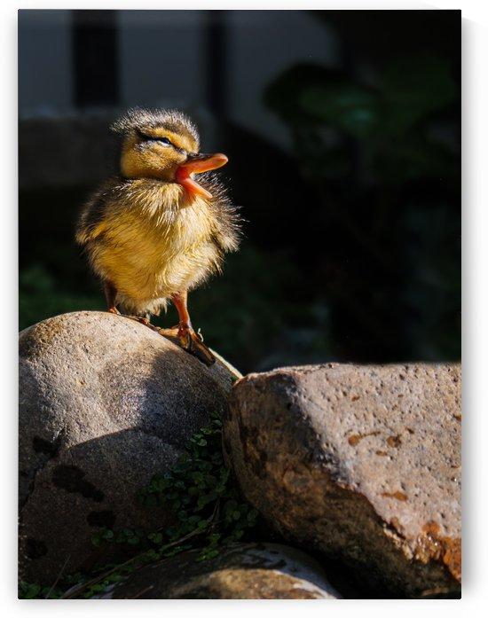 Quacking Duckling by David Yoon