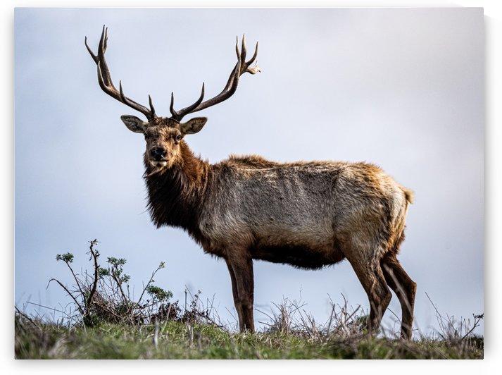 Tule Elk by David Yoon