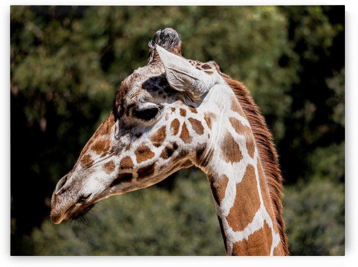 Profile of a Giraffe by David Yoon