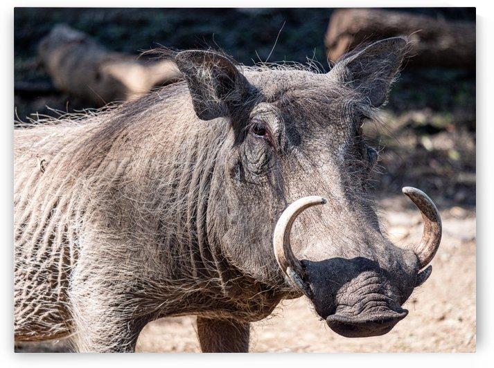 Warthog Close Up by David Yoon