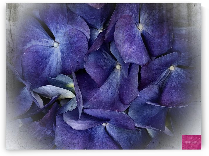 Bluest Hydrangea by BotanicalArt ca