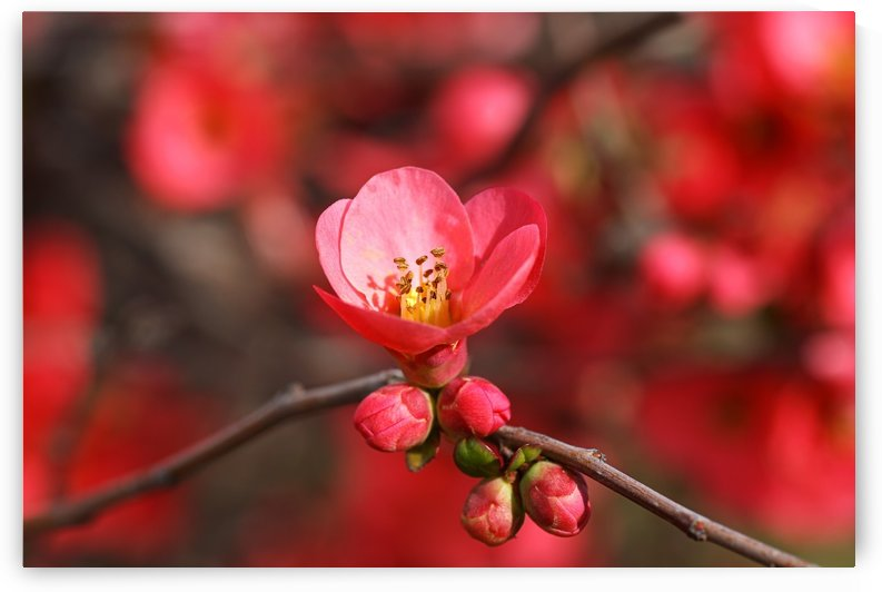 Bright Quince Spring by Joy Watson
