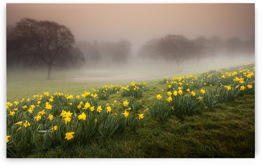 Misty Daffodils by Leighton Collins