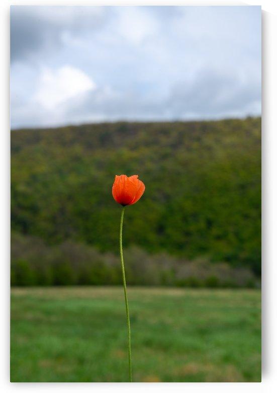 Lone Poppy by Michael Pierce