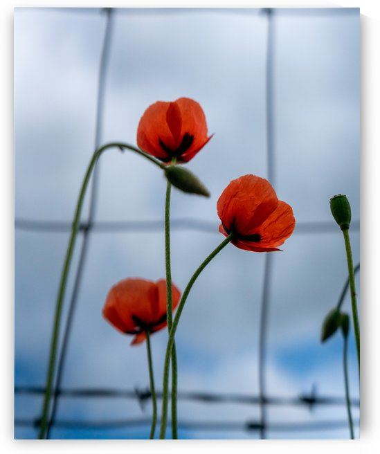 Poppies by Michael Pierce