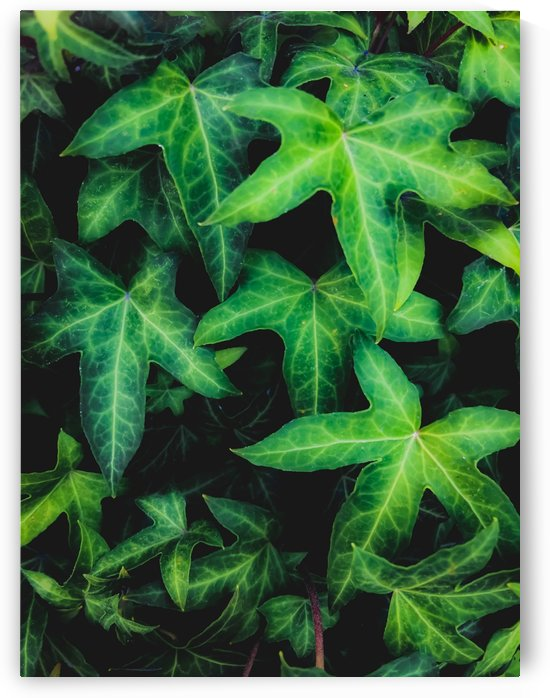green ivy leaves garden background by TimmyLA