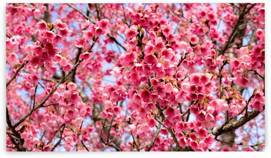 Nature - Cherry tree -XII by Carlos Wood