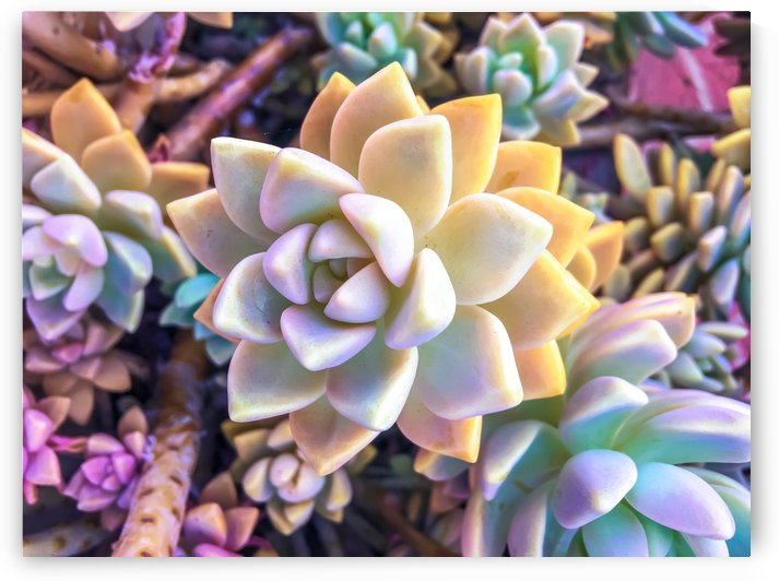 green and pink succulent plant garden background by TimmyLA