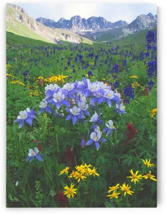 Colorado Columbine Natural Bouquet by Steve Tohari