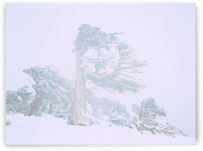 Ancient Tree in fog and snow by Steve Tohari