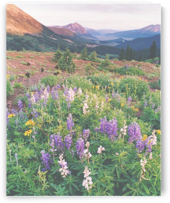 Lupine in the Mountains by Steve Tohari