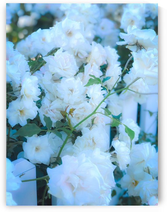closeup white roses garden with green leaves by TimmyLA