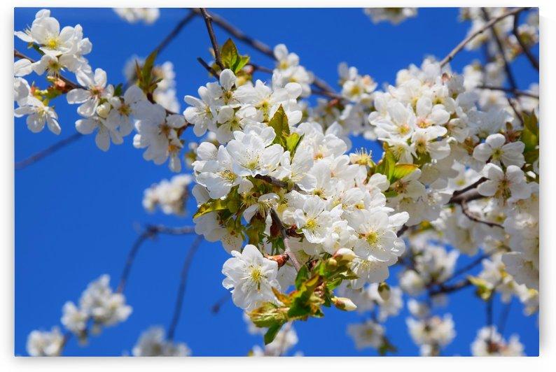 Floral  Morello Tree Blooming in Springtime by Kikkia Jackson