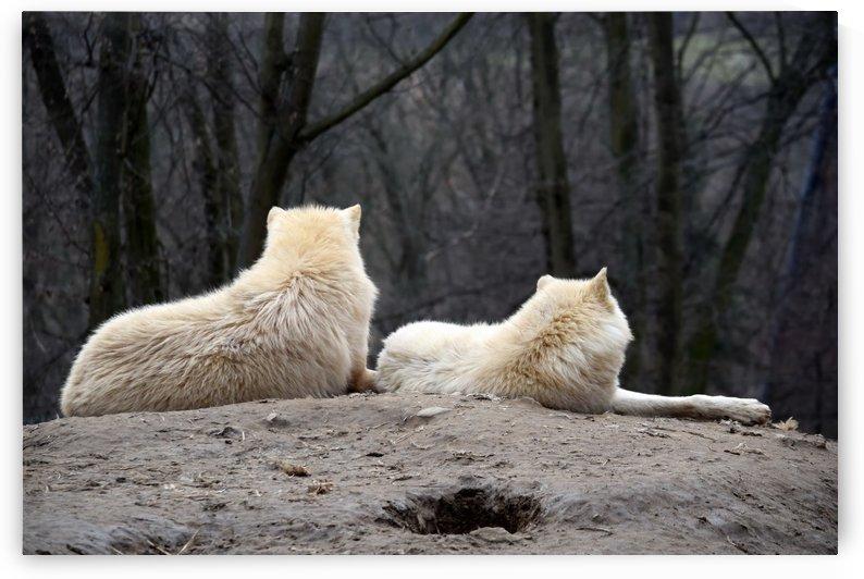 Couple of White Arctic Wolf Lying on Hill by Kikkia Jackson
