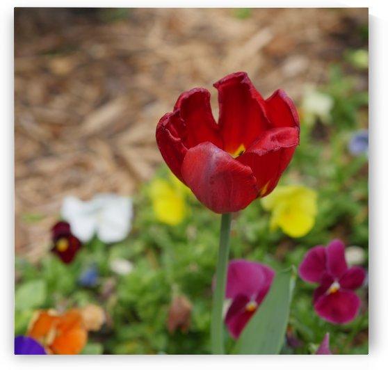 Red tulip by On da Raks