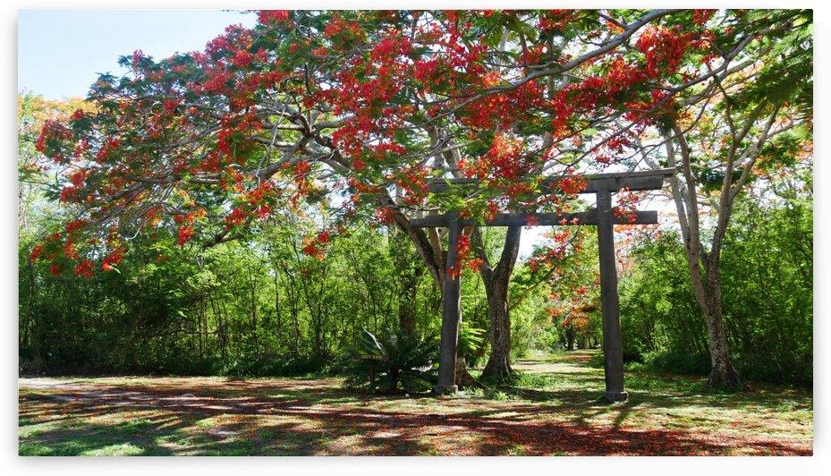 Flowering Flame Trees by On da Raks