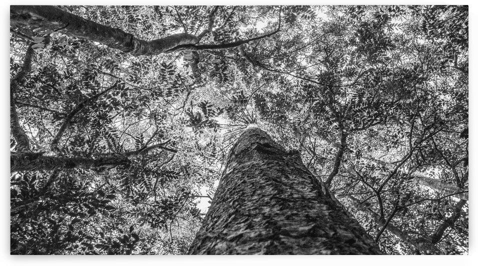 Araucaria V by Carlos Wood