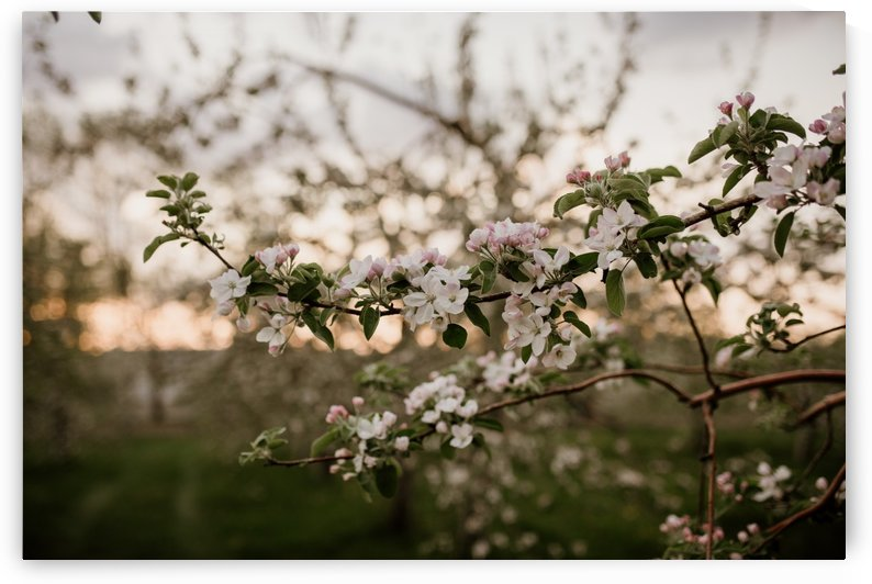 Fleurs de pommes by StephanieAllard