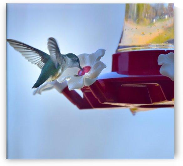 Oiseau-mouche by Annie St-Pierre Photographie