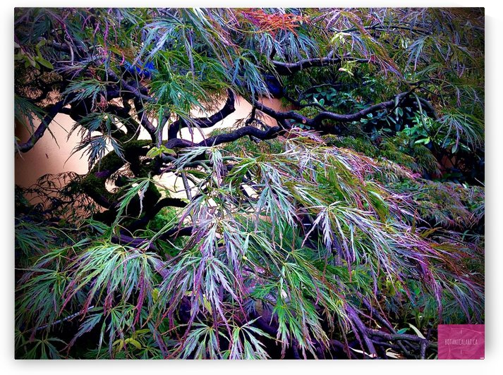Japanese Maple 01062020 by BotanicalArt ca