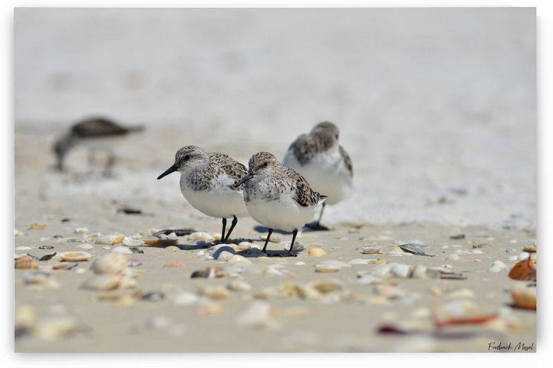 Sanderlings by Frederick Missel