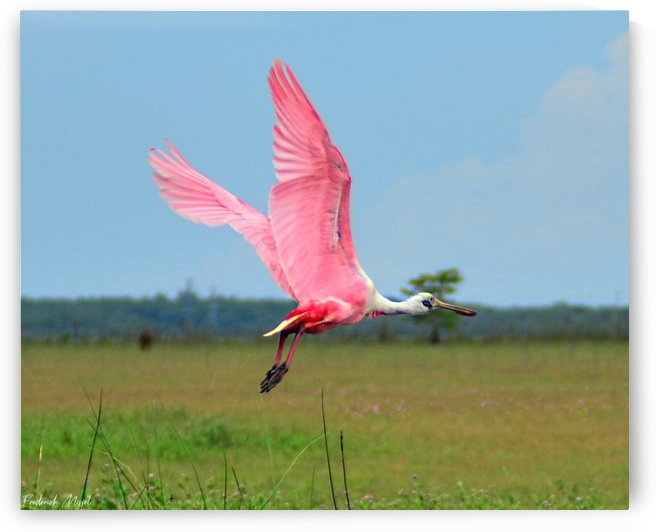 Roseate Spoonbill by Frederick Missel