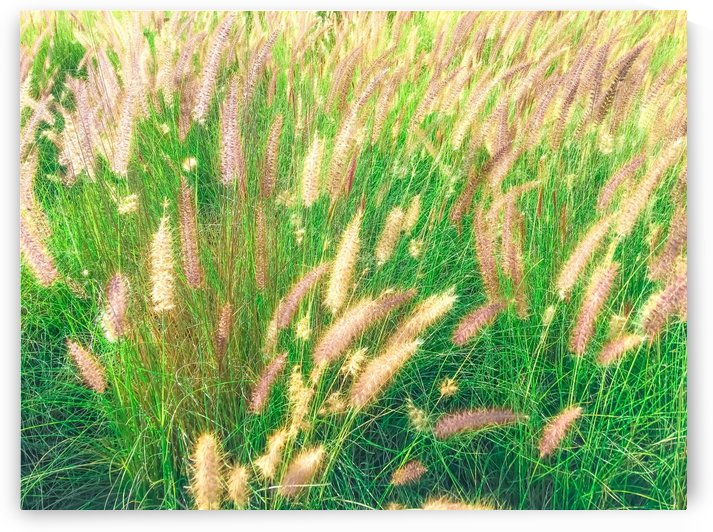green grass field texture abstract with blooming grass flowers by TimmyLA