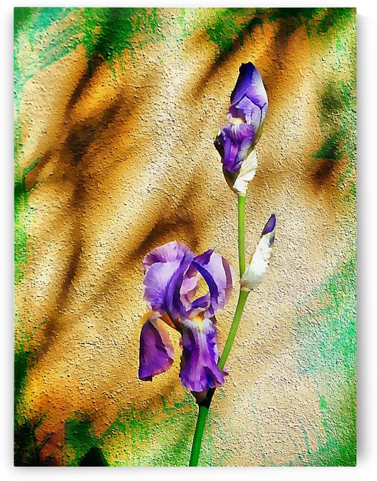 Isolated Blue Bearded Iris by Dorothy Berry-Lound