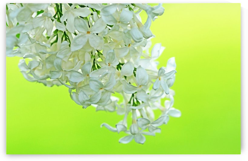 Cool White Lilac On Lemon Lime by Deb Oppermann