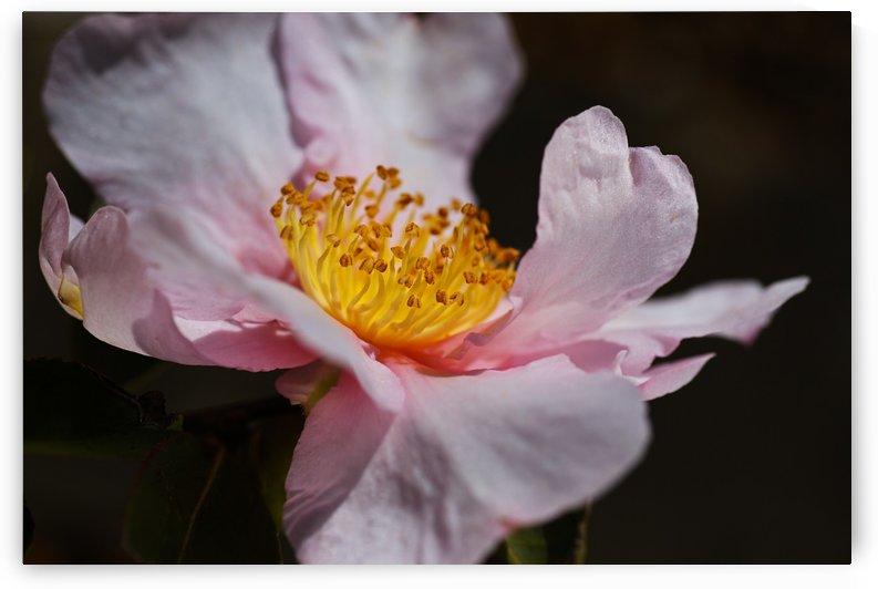 Curves Of Camellia Flower by Joy Watson