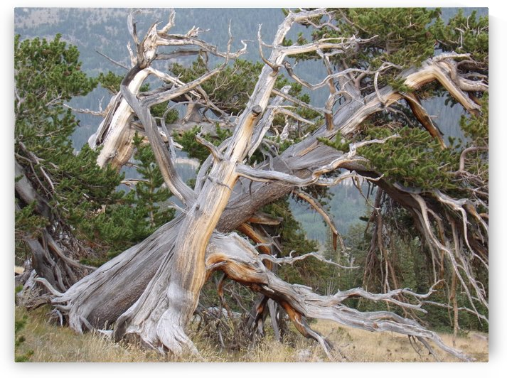 Twisted Tangled Ancient Pines by Steve Tohari