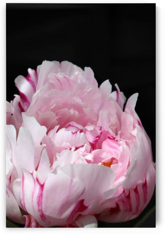 peonia rosada 4 by blursbyai